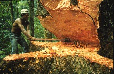 Что за древесина Mahagoni
